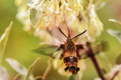 Flying Hummingbird Wall Art - Photograph - On The Honeysuckle Bush by Susan Capuano