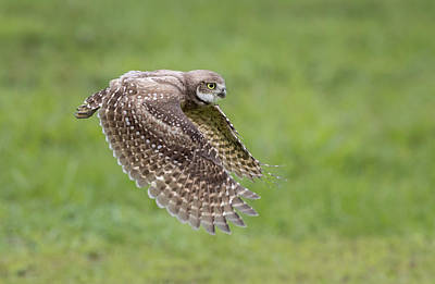 Burrowing Owl Wall Art - Photograph - On The Hunt by Greg Barsh