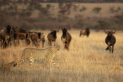Cheetah Photograph - On The Hunt by Renee Doyle