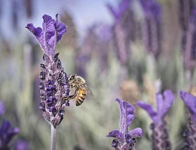 Photograph - On The Lavender  by Priya Ghose