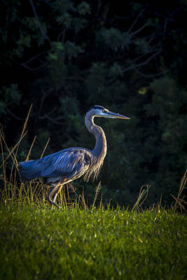 Heron Photograph - On The March by Marvin Spates