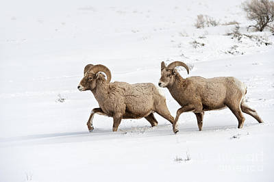 Big Horn Sheep Photograph - On The Move by Sandra Bronstein