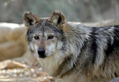 Mexican Wolf Photograph - On The Prowl by Fraida Gutovich