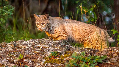 Wildlife Painting - On The Prowl by Sandy Brooks