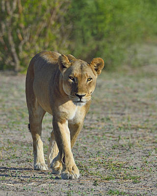 Prowler Photograph - On The Prowl by Tony Beck
