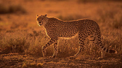 Cheetah Wall Art - Photograph - On The Rise by Mohammed Alnaser