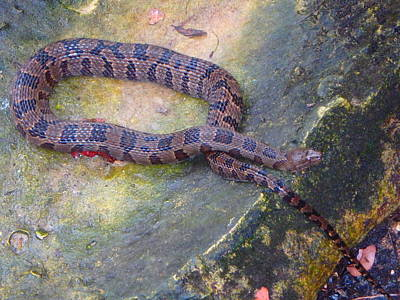 Photograph - On The Rocks Banded Water Snake by Sheri McLeroy