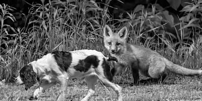 English Fox Hunting Photograph - On The Scent Monochrome by Steve Harrington