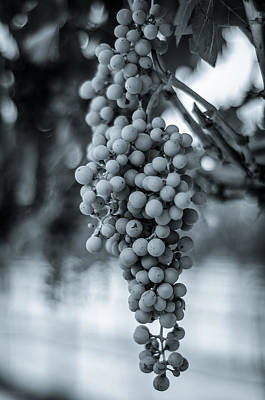 Photograph - On The Vine  Bw by David Morefield