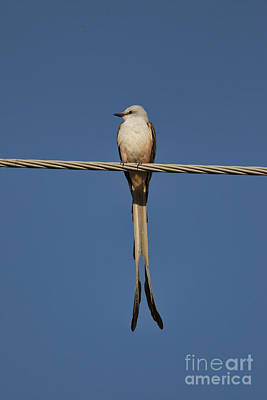 Scissor-tail Photograph - On The Wire by Douglas Barnard