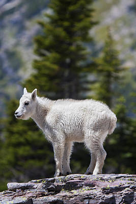 Mountain Goat Photograph - On Top Of The World by Mark Kiver