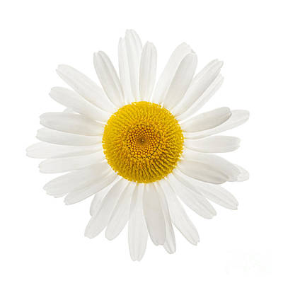 Photograph - One Daisy Flower by Elena Elisseeva