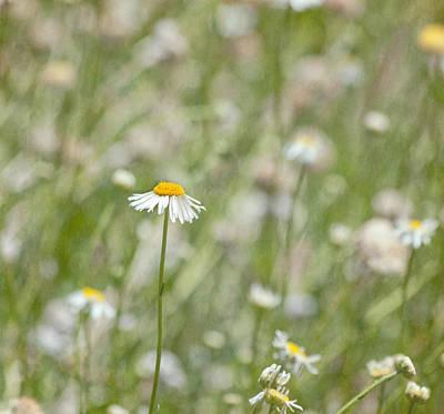 Photograph - One - Daisy Flower by Kim Hojnacki