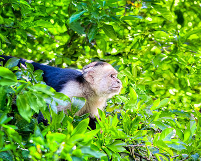 Green Monkey Photograph - One Determined Monkey - Costa Rica Wildlife by Mark E Tisdale