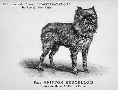 Griffon Drawing - One Dog Standing Wearing A  Collar by Mary Evans Picture Library