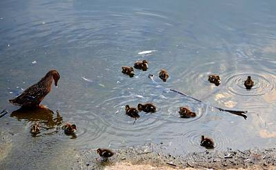 Photograph - One Dozen Ducklings by Maria Urso