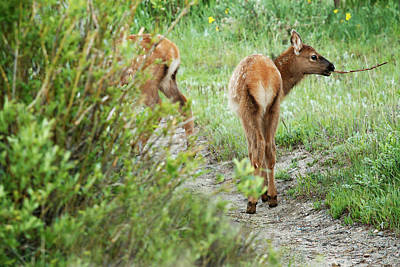 One Elk Calf With Stick In Mouth Art Print by Piperanne Worcester