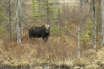 Photograph - One Eyed Moose by Alan Norsworthy