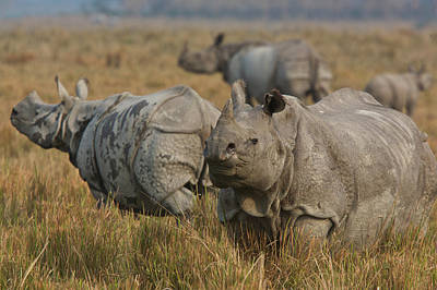 Photograph - One-horned Indian Rhinoceroses by Steve Winter