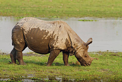 One-horned Rhinoceros Feeding Art Print by Jagdeep Rajput