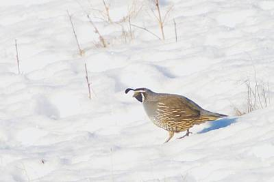 Snow Seeds Photograph - One Little Quail by Jeff Swan