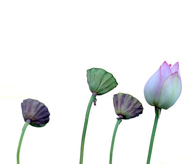 Wall Art - Photograph - One Lotus Flower by Mark Sullivan