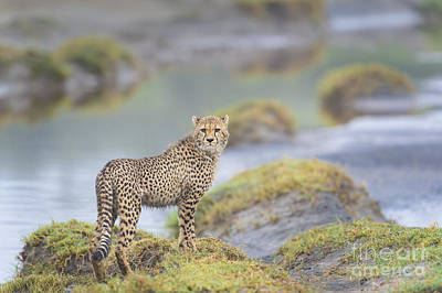 Photograph - One More Look - Cheetah Cub by Sandra Bronstein