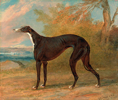 One Of George Lane Foxs Winning Greyhounds The Black Art Print by Litz Collection