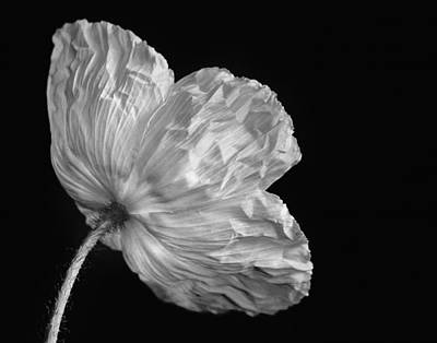 Photograph - One Poppy by David and Carol Kelly
