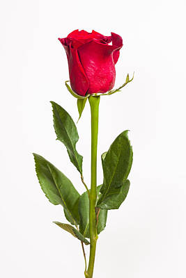 Isolated Photograph - One Red Rose by Adam Romanowicz