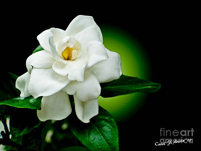 One Sensual White Flower Print by Carol F Austin