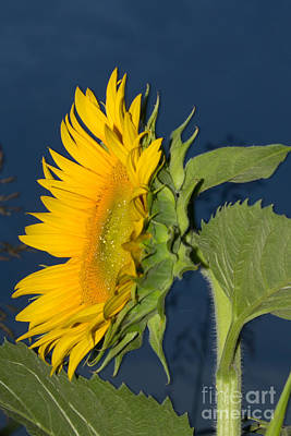 Photograph - One Sunflower Evening by Sandra Clark