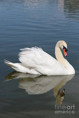 Birds Photograph - One Swan by Carol Groenen