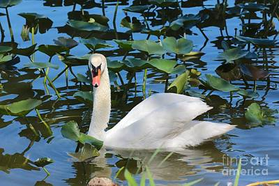 Swans Photograph - One Swan In The Lilies by Carol Groenen