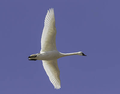 Tundra Swan Photograph - One Swan by Thomas Young