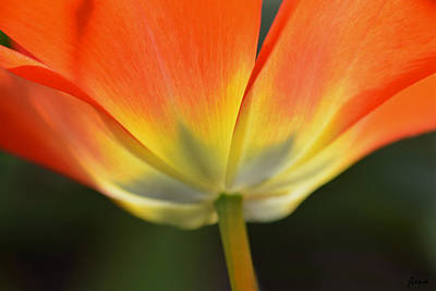Photograph - One Tulip by JoAnn Lense