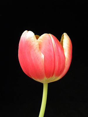 Photograph - One Tulip by Julie Palencia