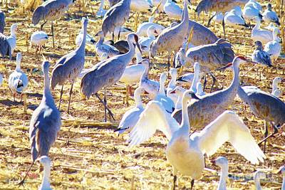 Photograph - One Tundra Swan by Roena King