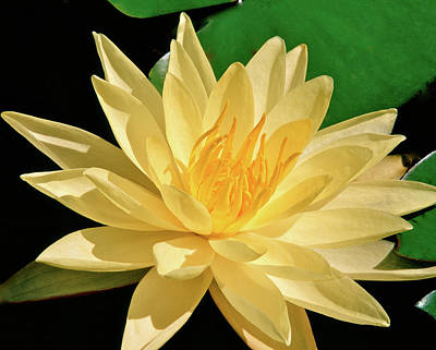 One Water Lily  Art Print by Ed  Riche