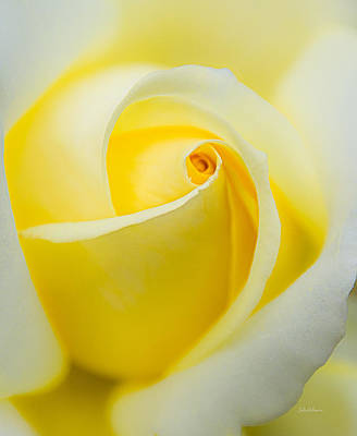 One Yellow Rose Print by Julie Palencia