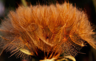 Photograph - Onion Seeds by Haren Images- Kriss Haren
