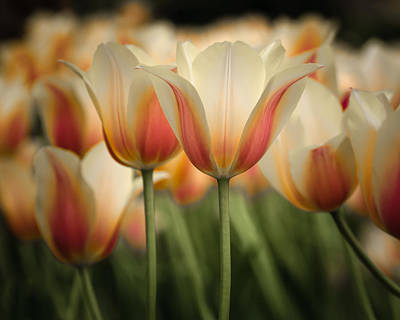 Backlit Tulip Photograph - Only Tulips by James Barber