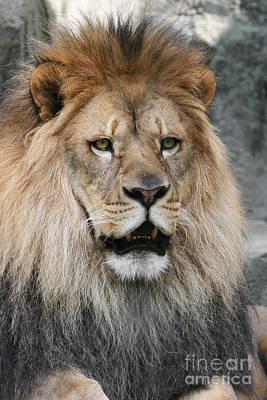 Lion Photograph - Onyo #14 by Judy Whitton