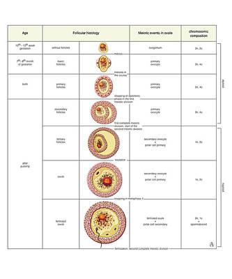 Ovule Photograph - Oogenesis by Asklepios Medical Atlas