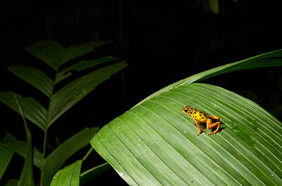 Frogs Photograph - Oophaga Pumilio  by JP Lawrence