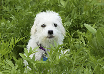 Photograph - Oops Busted - Cute White Dog by Jane Eleanor Nicholas