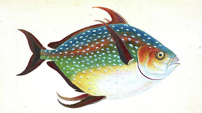 Luna Drawing - Opah, Or King-fish, Zeus Luna, British Fishes by Artokoloro