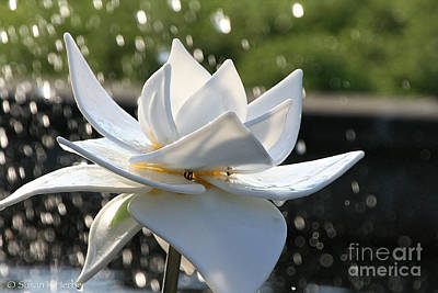 Photograph - Opaque Lily by Susan Herber