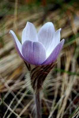 Photograph - Open Pasqueflower by Dakota Light Photography By Dakota