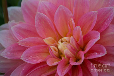 Photograph - Open To Morning Dahlia by Patricia Babbitt